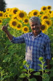 Sunflowers field with farmer. Stock Photography