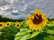 A field of sunflowers. Sunflowers in a field stock photography