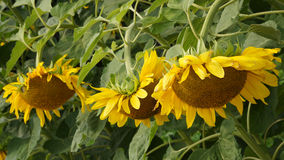 Sunflowers in the field. flowering period Royalty Free Stock Photos