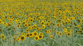 Sunflowers. Field full of Sunflowers in good details Stock Image