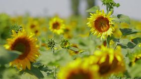 Sunflowers stock footage
