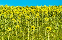 Sunflower field in Kursk Oblast of Russia stock image