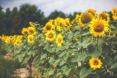 Sunflowers field. A landscape of beautiful sunflowers, summer  time and sunshine Royalty Free Stock Photography