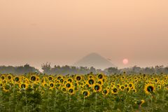 Sunflowers field. Landscape of sunrise at sunflowers farm and mountain Royalty Free Stock Photos