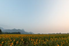 Sunflowers field. Landscape of sunrise at sunflowers farm and mountain Royalty Free Stock Photo