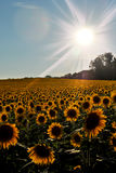 Sunflowers in a field Royalty Free Stock Photography