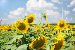 Sunflowers field in late summer, ready for harvest Royalty Free Stock Photos