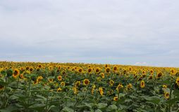 Sunflowers on a field Stock Photo
