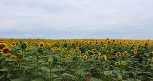 Sunflowers on a field Royalty Free Stock Image