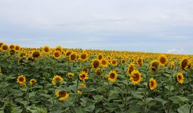 Sunflowers on a field Royalty Free Stock Images