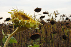 Sunflowers in the field Stock Image