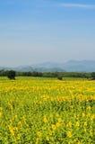 Sunflowers field on mountain background. Field of blooming sunflowers on a mountain background Royalty Free Stock Photos