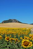 Sunflower field, Andalusia, Spain. Sunflowers in field with mountain to the rear, Near Almargen, Malaga Province, Andalusia, Spain, Western Europe Stock Photography