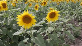Sunflowers In The Field. stock video