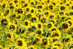 Sunflowers. Field nature flower sun yellow green agricolture stock photos