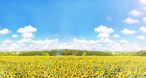 Sunflowers field with nature and widely blue puffy cloudy sky Royalty Free Stock Image