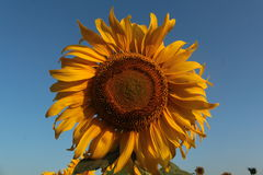 Sunflowers in the field. Nature Zolochev Kharkiv region Royalty Free Stock Photo