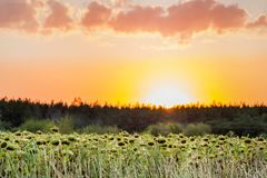Sunflowers field near forest at sunset ot sunrise, rural agricultural background.  Stock Images
