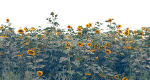 Sunflowers field over white Royalty Free Stock Photos