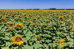Sunflowers Field Provence France Stock Photography