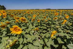 Sunflowers Field Provence France Royalty Free Stock Photos