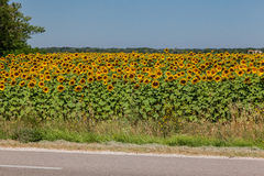 Sunflowers Field Provence France Royalty Free Stock Image