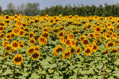 Sunflowers Field Provence France Stock Photos