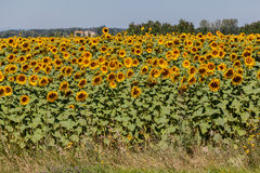 Sunflowers Field Provence France Stock Images