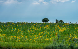 Sunflowers. A field of sunflowers in rome country italy Royalty Free Stock Image