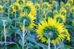 Sunflowers field, selective focus on single sunflower Royalty Free Stock Photo