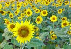 Sunflowers field, selective focus on single sunflower Stock Photography