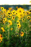 Sunflowers in a field Stock Photography