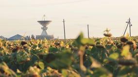 Sunflowers field on sky background stock video