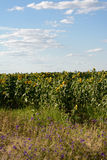 Sunflowers in the field. Field of sunflowers, sky, clouds and flowers Stock Photos