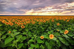 Sunflowers field before the storm Royalty Free Stock Photo