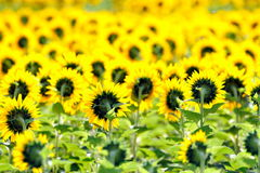 Sunflowers on field in summer Royalty Free Stock Photos