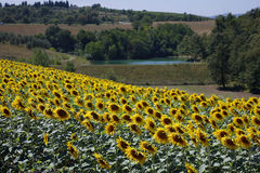 Sunflowers at the field in summer Stock Photography