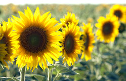 Sunflowers field summer. Sunflowers at the field in summer Stock Photography