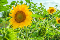Sunflowers at the field Stock Photography