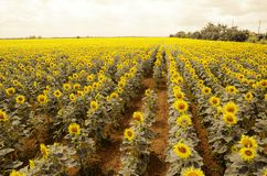 Sunflowers field in summer Stock Photos