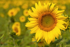 Sunflowers on field in summer Royalty Free Stock Images