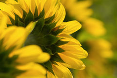 Sunflowers on field in summer Stock Photography