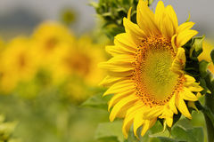Sunflowers on field in summer Royalty Free Stock Photography