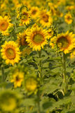 Sunflowers on field in summer Royalty Free Stock Image