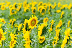 Sunflowers in the field in summer day Stock Image