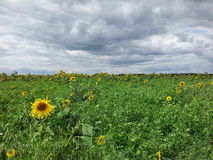 Sunflowers. On the field, summer flowers, sky and clouds Royalty Free Stock Photo