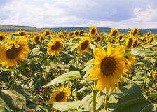 Sunflowers on field Stock Photography