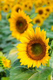 Sunflowers field Stock Images
