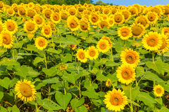 Sunflowers field. Royalty Free Stock Photo