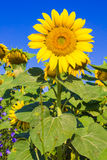 Sunflowers at the field in summer Royalty Free Stock Photo